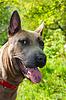 ID 3795398 | Portret psa rasy Thai Ridgeback | Foto stockowe wysokiej rozdzielczości | KLIPARTO