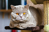 Portret Kot brytyjski krótkowłosy liliowy | Stock Foto