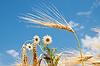 Rumianek na polu pszenicy | Stock Foto