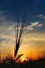 Kłosy dojrzałej pszenicy w słońca | Stock Foto