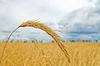 Kłos pszenicy | Stock Foto