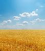 Pole Golden Harvest pod chmury w niebie | Stock Foto