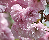 Spring Cherry Blossoms | Stock Foto