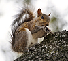 ID 3915679 | Amerykańska wiewiórka szara | Foto stockowe wysokiej rozdzielczości | KLIPARTO