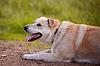 베이지 색 큰 순종하지 개는 속인다 | Stock Foto