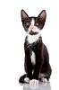 Black and white neugierig Kätzchen sitzt | Stock Foto