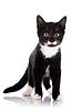 黑色和白色的小猫成本 | 免版税照片