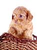 국립 공원에있는 장식 강아지의 작은 빨간 강아지 | Stock Foto