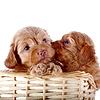 국립 공원 바구니에 두 개의 작은 강아지 | Stock Foto