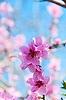 복숭아 꽃이 만발한 | Stock Foto