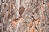 Background - Pine Bark | Stock Foto