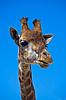 Портрет жирафа | Фото