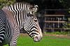 ID 3923134 | Grevys zebra | Foto mit hoher Auflösung | CLIPARTO