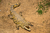 Krokodil | Stock Foto