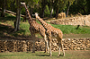 Two giraffe | Stock Foto