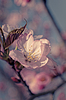 ID 3797839 | Japanische Kirschblüte | Foto mit hoher Auflösung | CLIPARTO