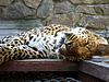 Agradable leopardo durmiendo en la celda de zoológico | Foto de stock