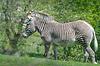 ID 3799432 | Grevy's Zebra | Foto stockowe wysokiej rozdzielczości | KLIPARTO