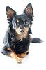 Portret czarno rosyjski toy terrier | Stock Foto
