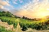 Vineyard auf Sonnenuntergang | Stock Foto