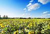 Feld von Sonnenblumen | Stock Foto