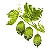Stachelbeeren auf einem Ast mit Blättern