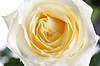 Schöne perfekte weiße Rose Blume Kopf | Stock Foto