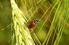 Käfer auf Spike im Weizenfeld | Stock Foto