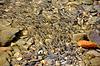 Eine Herde von jungen kaukasischen Döbel Fische im Fluss | Stock Foto