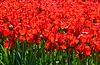 Ein Beet von roten Tulpen, sonnenbeschienenen | Stock Foto