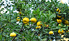 Ein Zweig von einem Baum mit Mandarinen Zitrusfrüchte in | Stock Foto