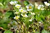 Strawberry Pflanze mit vielen weißen Blüten | Stock Foto