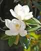 Magnolia grandiflora | Stock Foto