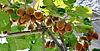 Reichlich Ernte der Kiwis | Stock Foto
