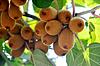 Reichlich Ernte der Kiwis auf einem Zweig | Stock Foto
