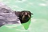 Northern fur seal | Stock Foto