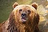 Niedźwiedź brunatny | Stock Foto