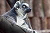 Lemur | Stock Foto