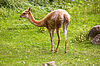 Lama guanako | Stock Foto