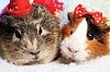 Забавные животные. Морская свинка портрет рождества | Фото