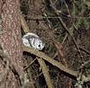 Bardzo stopa zwierząt - Flying Squirrel (Pteromys Volans) | Stock Foto