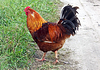 Orange rooster with black tail | Stock Foto