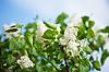 ID 3988649 | Белая сирень весной | Фото большого размера | CLIPARTO
