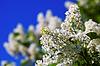 ID 4007135 | White lilac spring against blue sky | Foto stockowe wysokiej rozdzielczości | KLIPARTO