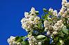 ID 4048358 | White lilac branch | Foto stockowe wysokiej rozdzielczości | KLIPARTO