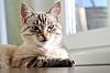 Schöne Katze mit blauen Augen | Stock Foto