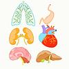 Satz von menschlichen Organen Herz, Lunge, Leber, Nieren,