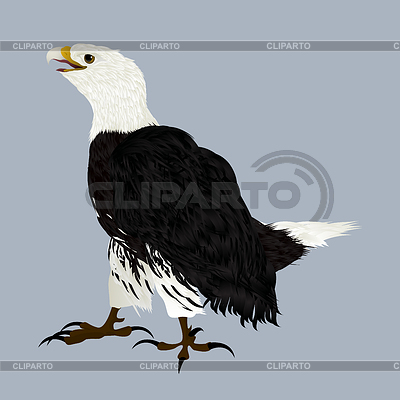 American Eagle | Illustration mit hoher Auflösung |ID 3755065