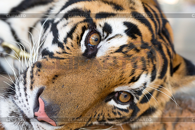 Tiger | Stock Photos and Vektor EPS Clipart | CLIPARTO / 5