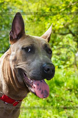 Portret psa rasy Thai Ridgeback | Foto stockowe wysokiej rozdzielczości |ID 3795398